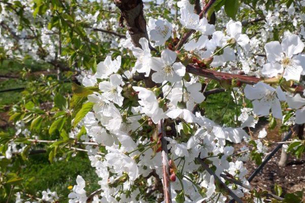 Kirschen Blüte 2
